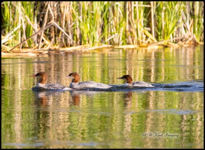 Common Merganser Ducks