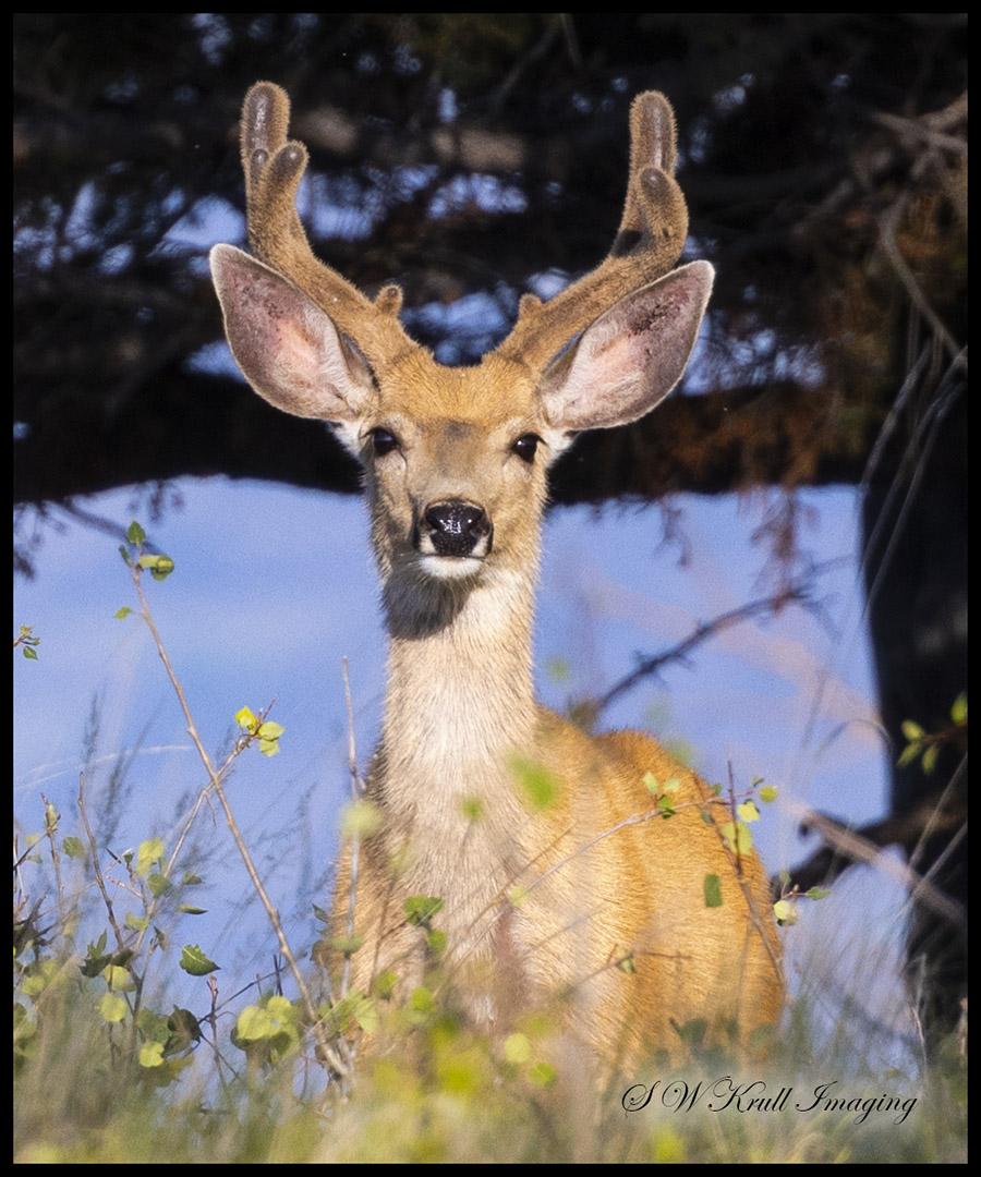 Beautiful Buck Mule Deer