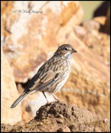 Finch posing in the Rockies