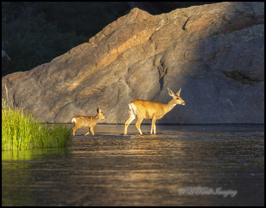 Doe and Fawn Crossing River