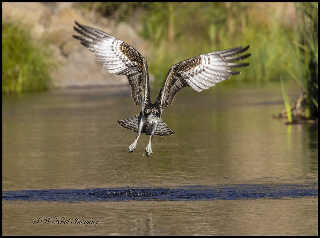 Osprey Fishing in Eleven Mile Canyon