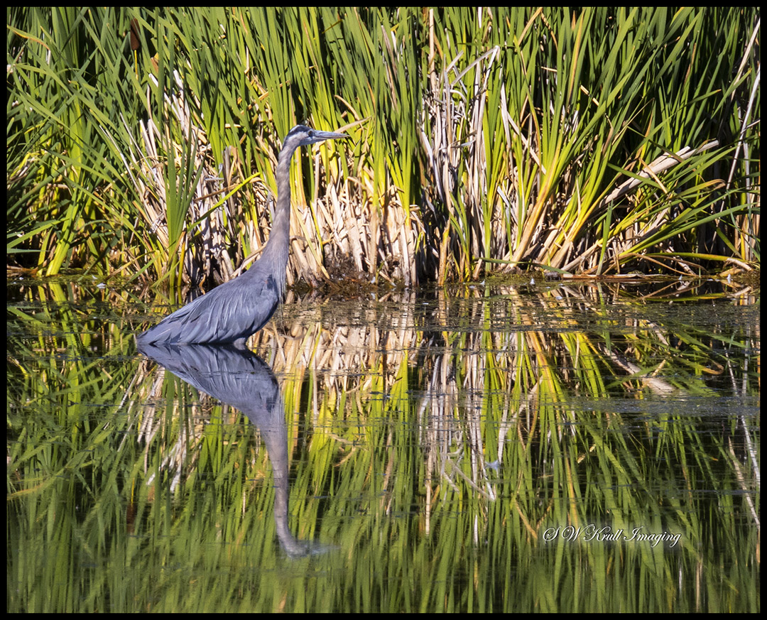 Great Blue Heron in Water of Glass