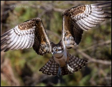 Osprey in Eleven Mile Canyon Colorado