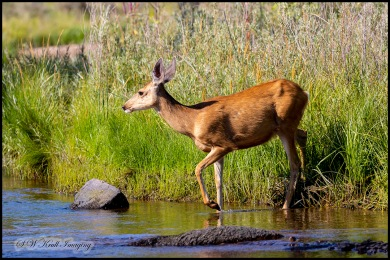 Doe Mule Deer in the South Platte River