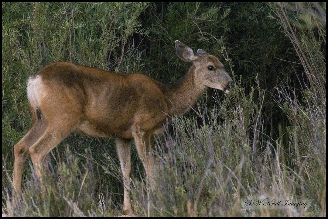 Mule Deer in Eleven Mile Canyon