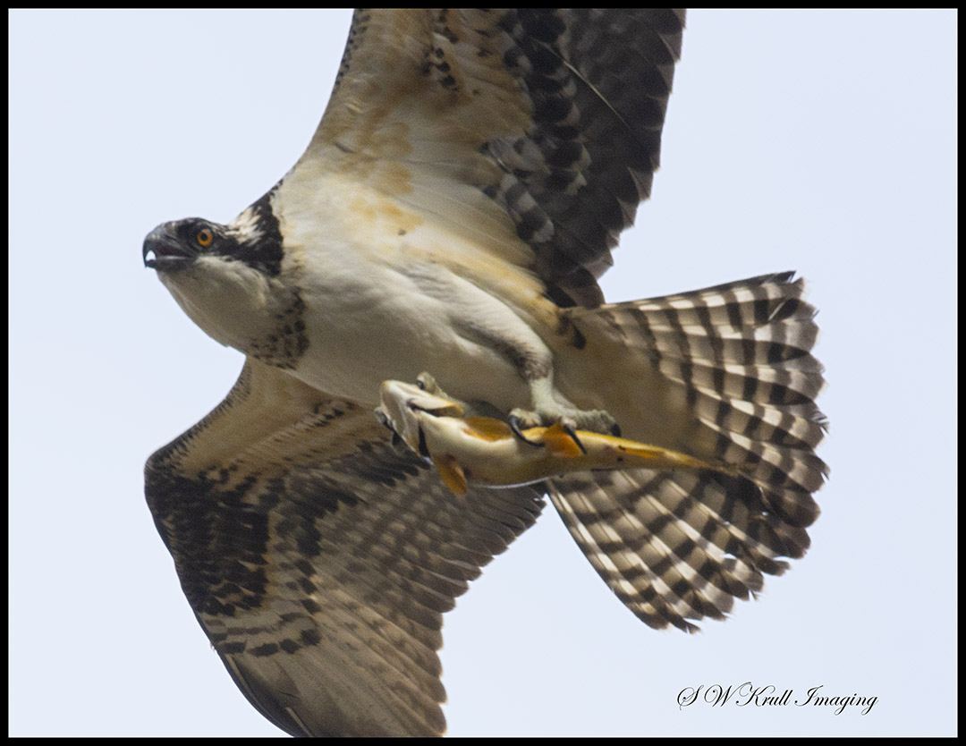 Osprey Soaring and Fishing
