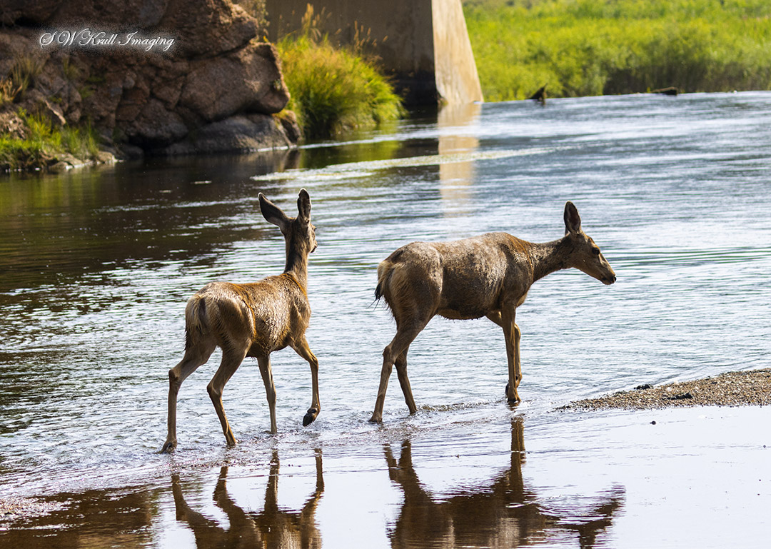 Mule Deer Crossing the South Platte River