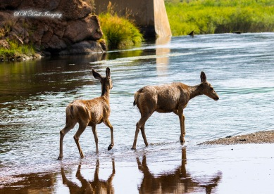 Mule Deer Crossing the South Platte River