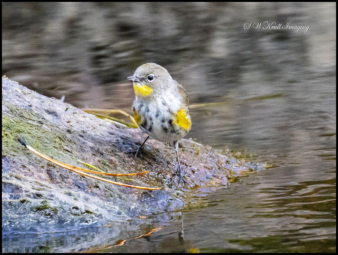Yellow Rumped Warbler in Eleven Mile Canyon
