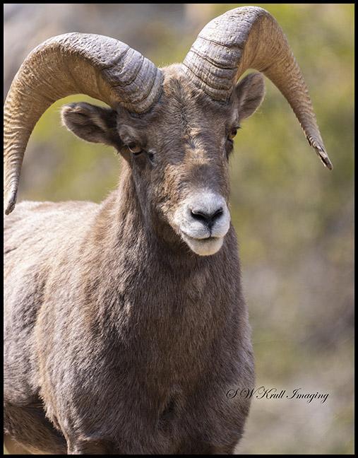 Bighorn Sheep in Waterton Autumn