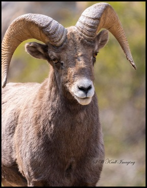 Bighorn Sheep in Waterton Autumn