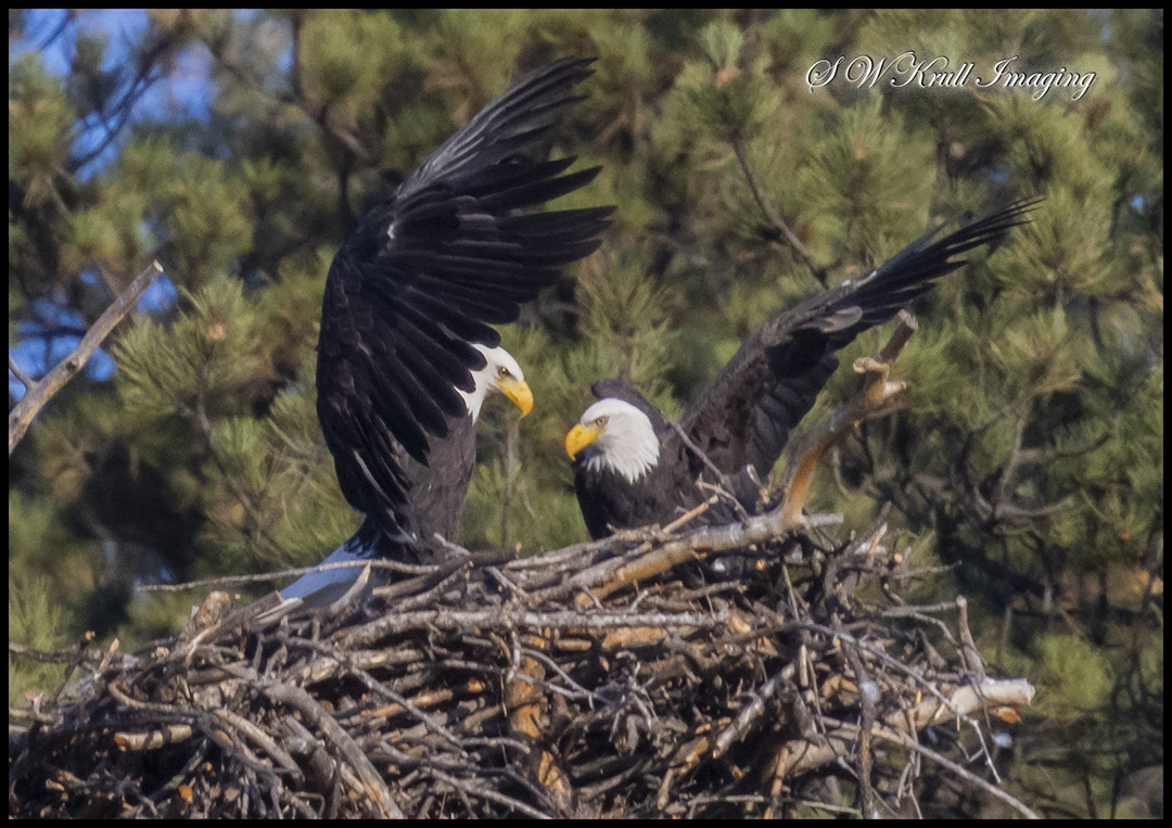 Eleven Mile Bald Eagle Pair