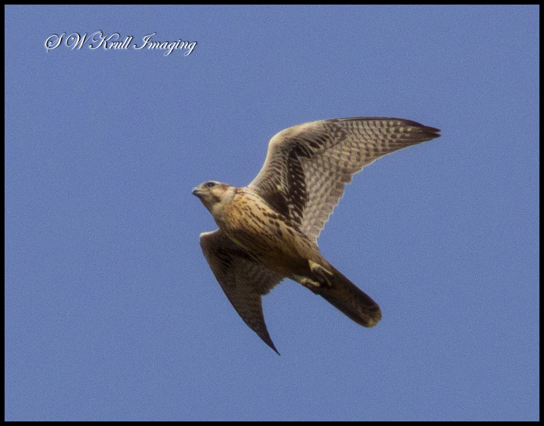 Peregrine Falcon Flying Overhead