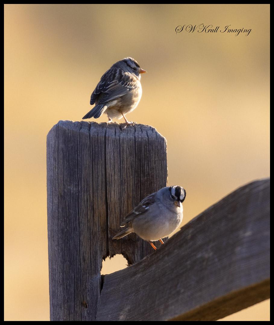 Vesper Sparrow in the Morning
