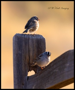 Vesper Sparrow in the Morning