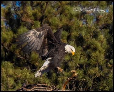 Pair of bald eagles who call Eleven Mile Canyon Colorado their home
