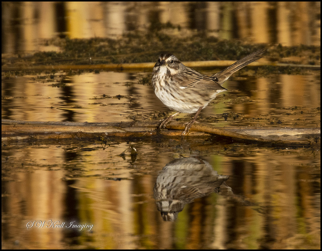 Little Sparrow by the Water