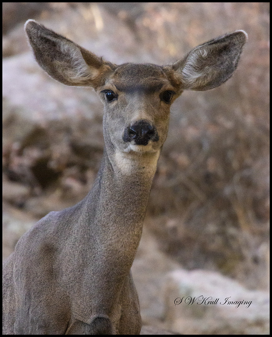 Doe Mule Deer in the Woods