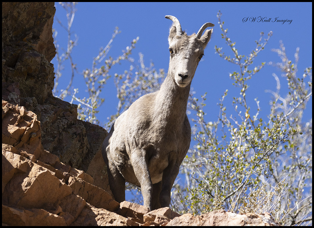 Bighorn Sheep in Waterton Canyon Autumn