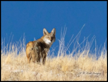 Coyote on the Mountain