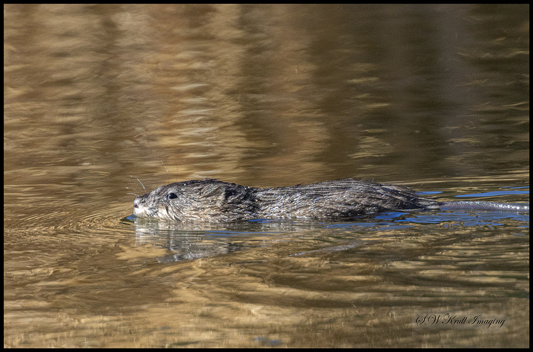 Beaver at Eleven Mile