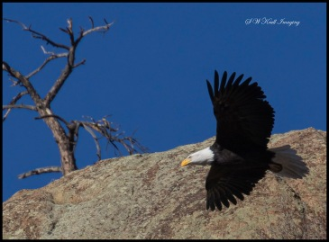 Bald Eagle in Eleven Mile Canyon