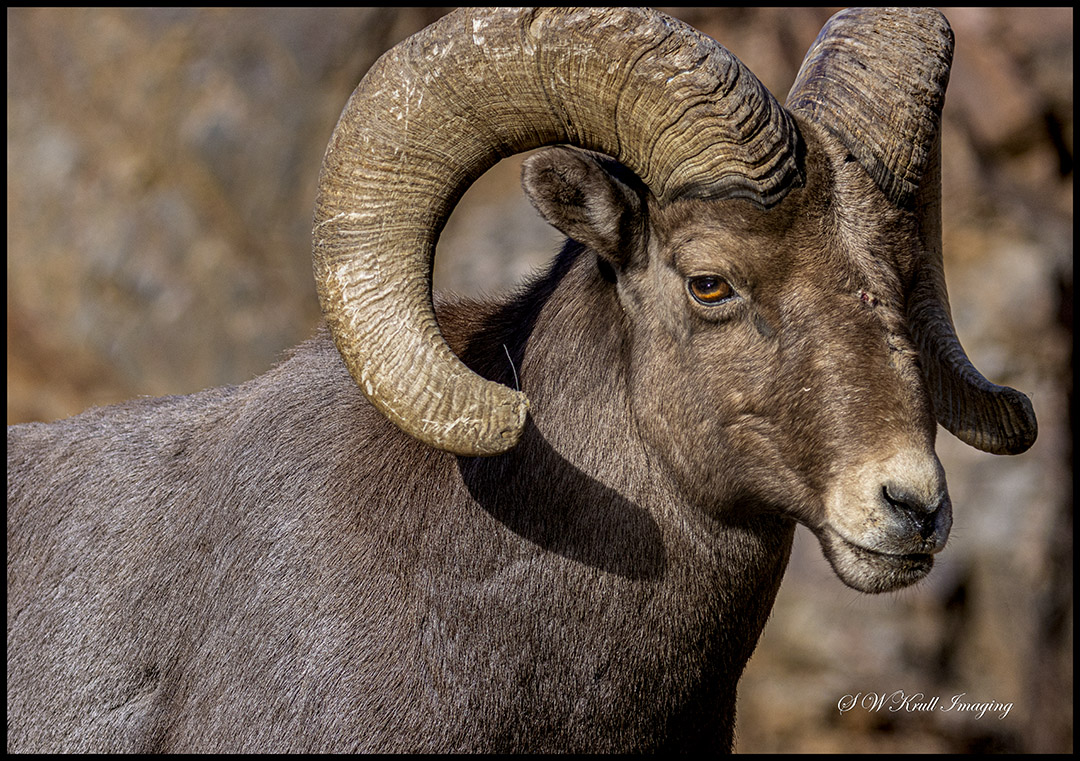 Bighorn Sheep Waterton