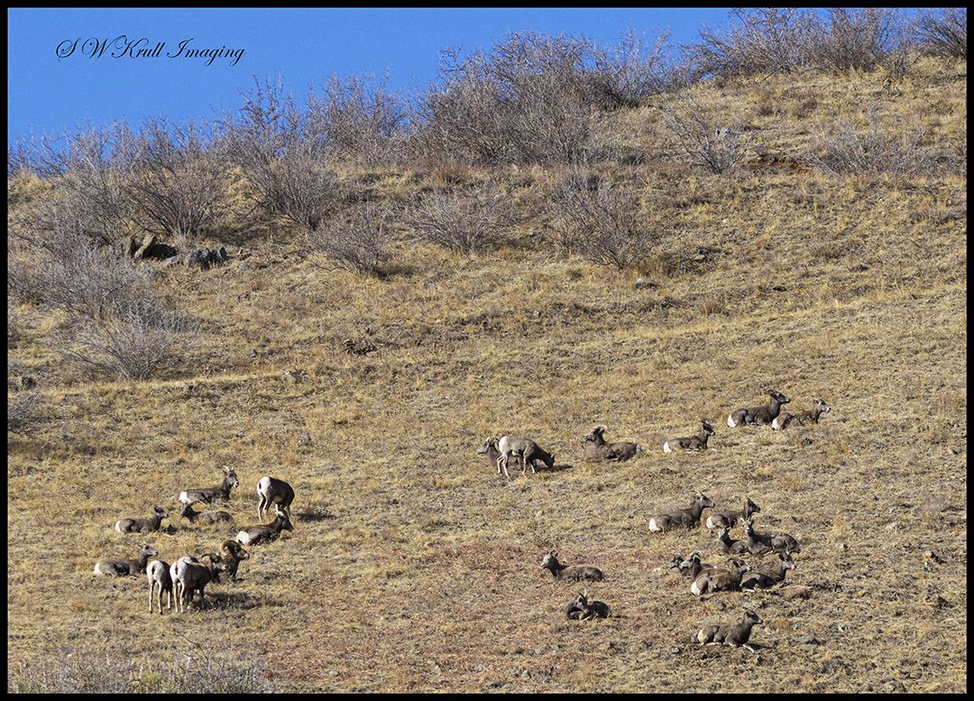 Bighorn sheep herd in Waterton Canyon Colorado