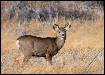 Doe Mule Deer in Eleven Mile Canyon