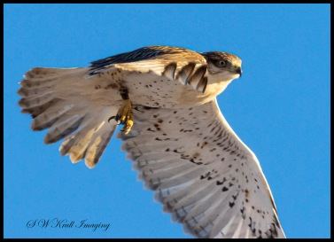 Red Tailed Hawk in the Pike National Forest