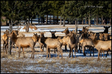 Big Herd of Elk