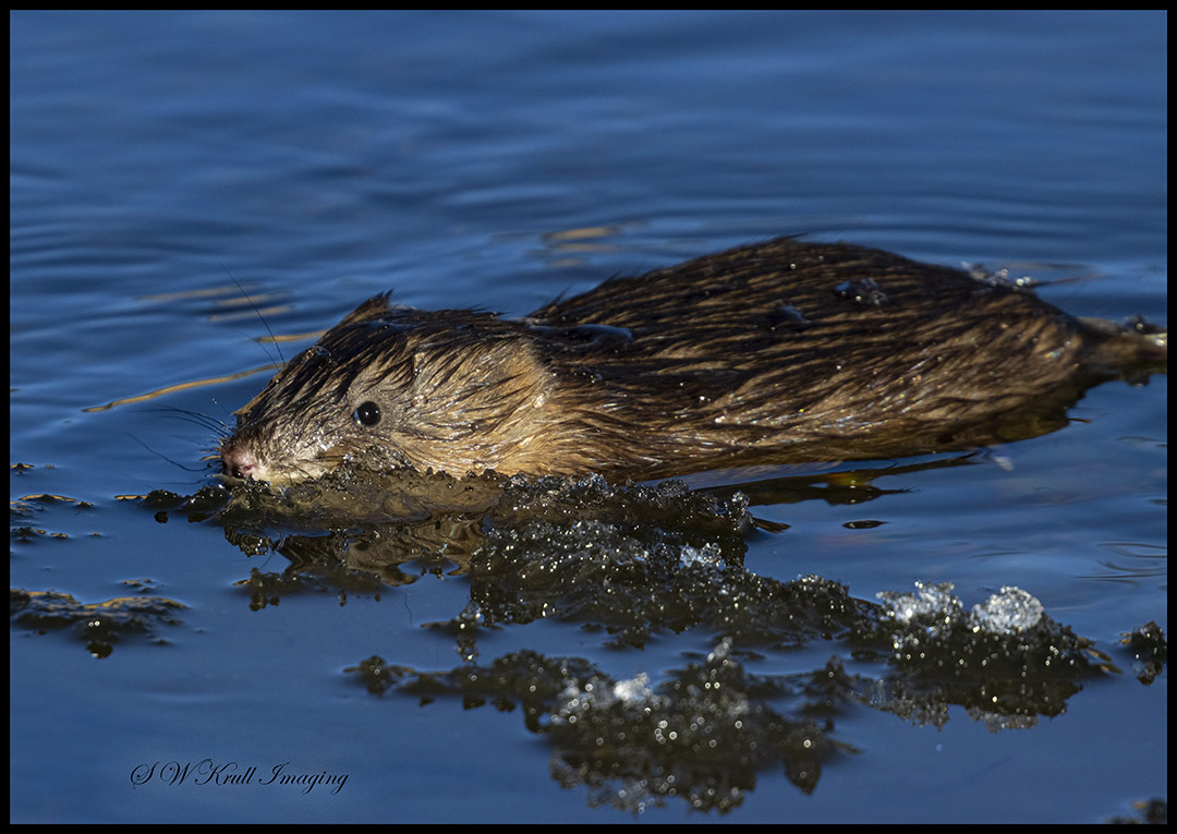 Muskrat in the South Platte River