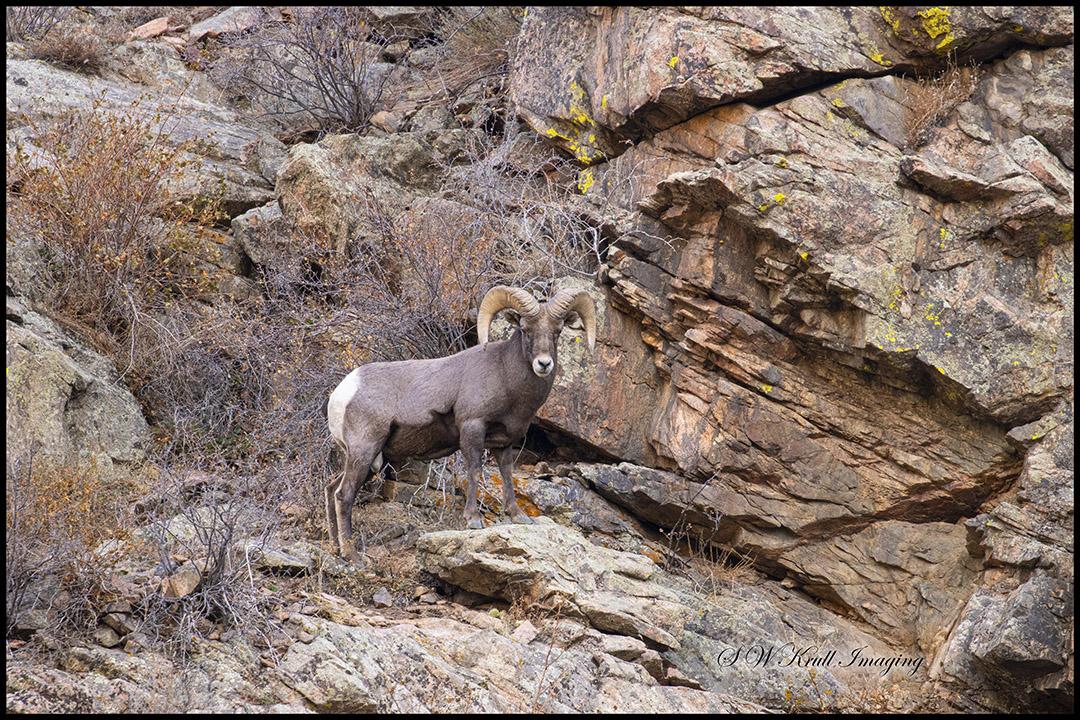 Waterton Bighorn