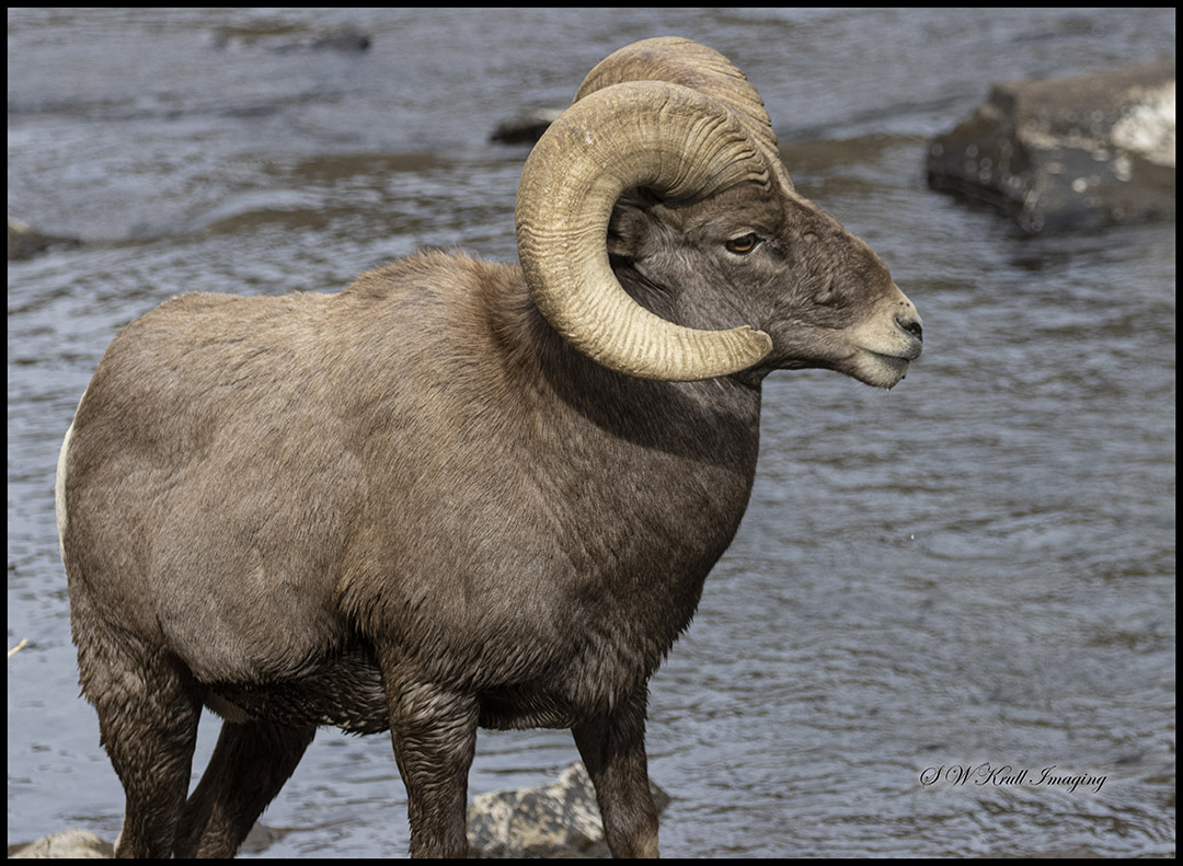 Waterton Bighorn in the Platte