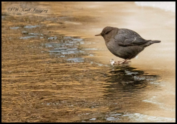 American Dipper on an Icy Perch
