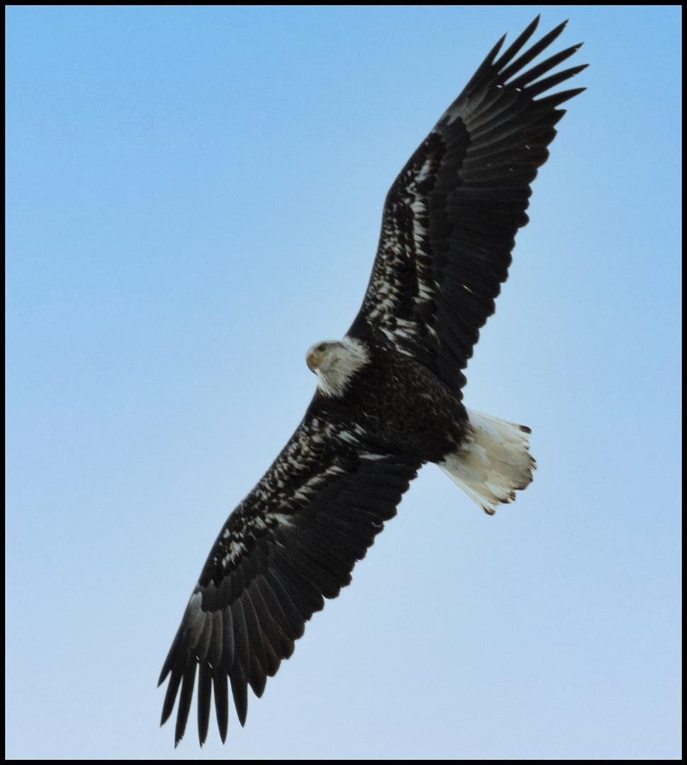 Winter Eagles