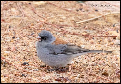 Cute little dark eyed junco