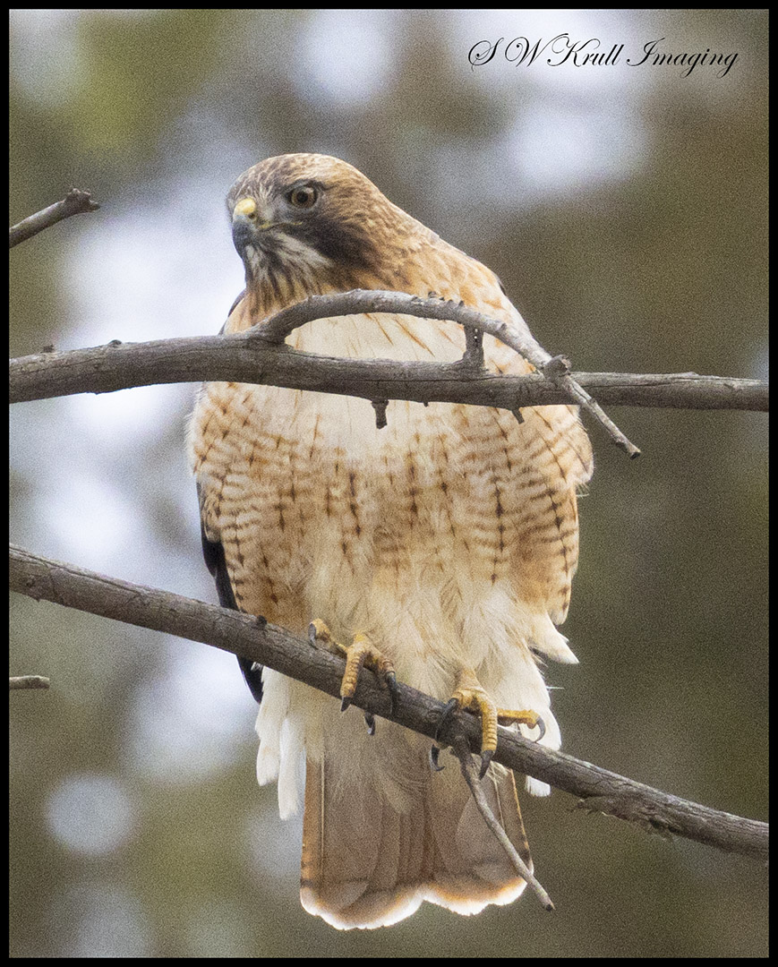 Red Tailed Hawk in Eleven Mile Canyon