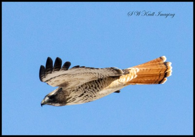 Red-tailed hawk in the beautiful blue Colorado sky.