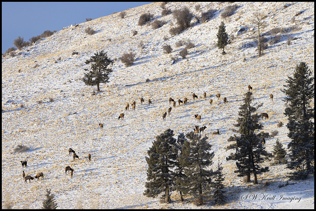 Herd of Rocky Mountain Elk