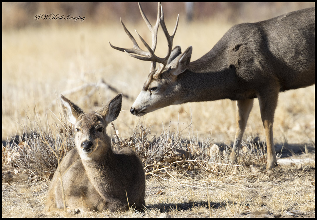 Buck and His Doe in the Rocky Mountain Arsenal