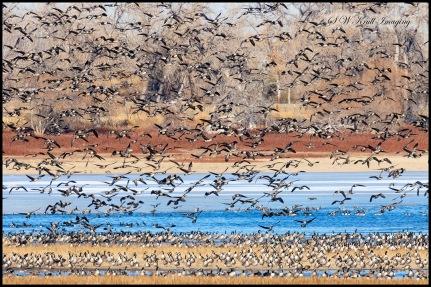 Geese at Barr Lake