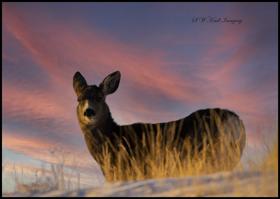 Mule Deer Sunrise