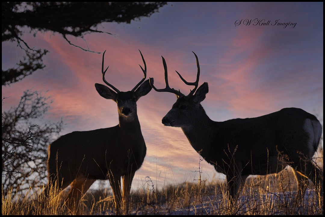 Mule Deer at Sunrise