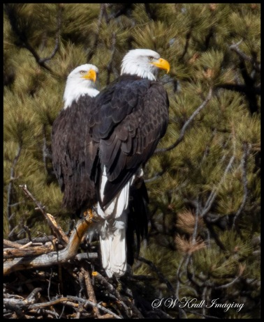 Bald Eagle Nesting Pair
