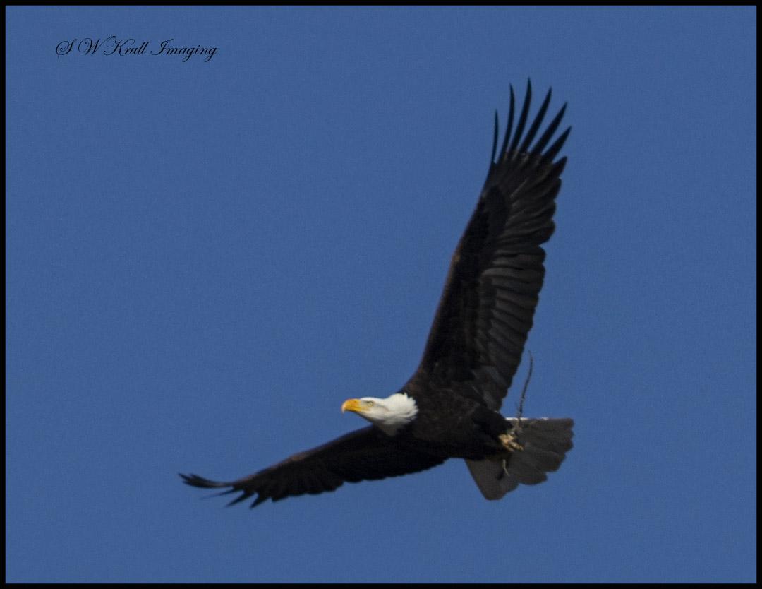 Bald Eagle Nesting Pair