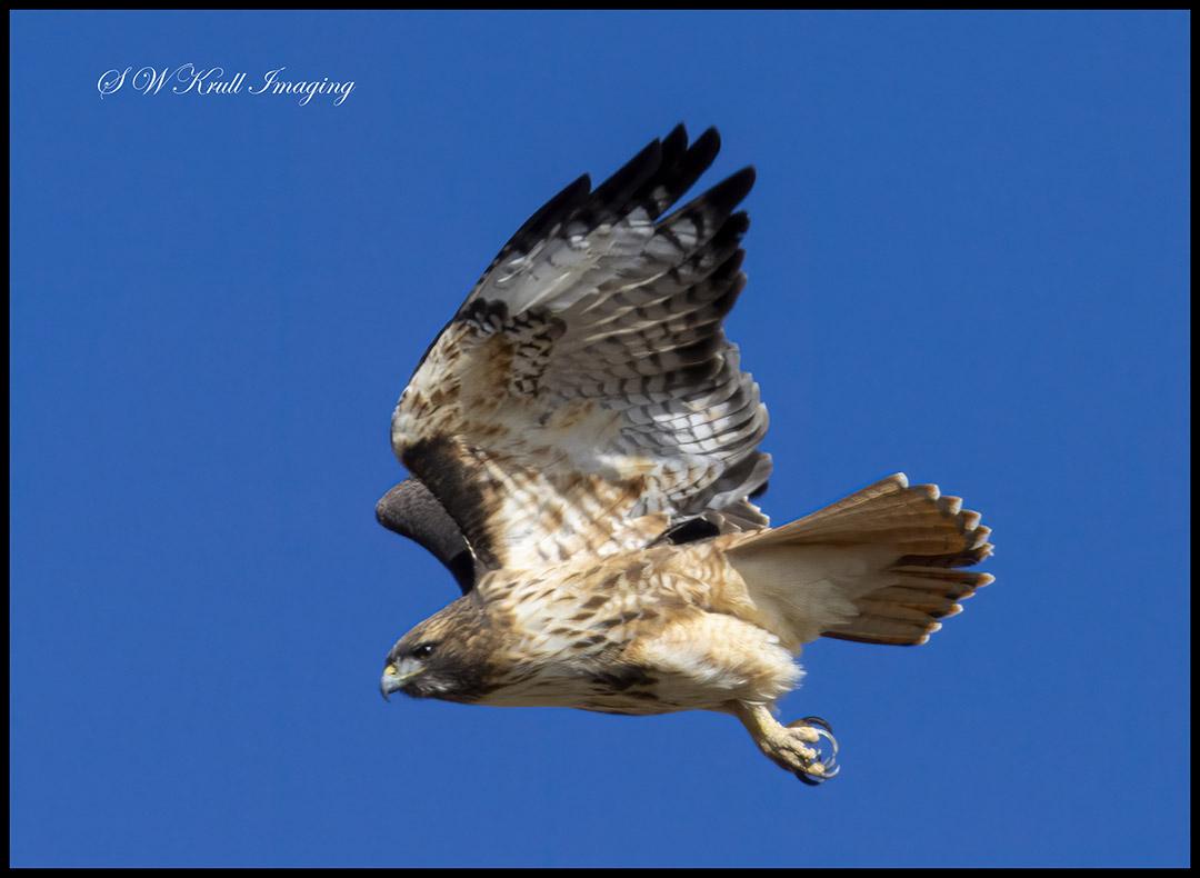 Colorado Red-tailed Hawk