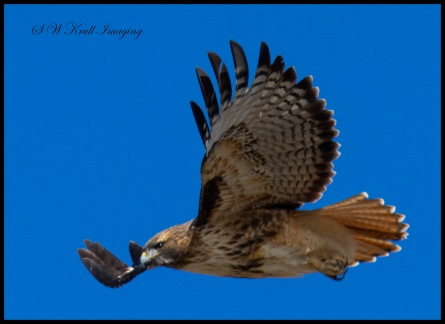Colorado Red-tailed Hawk