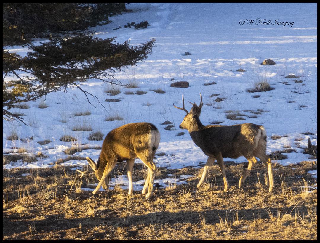 Pair of Buck Mule Deer