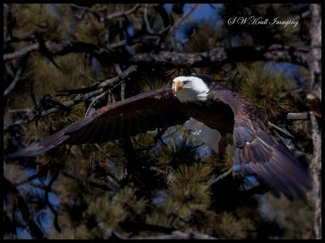 Bald Eagles in Eleven Mile Canyon